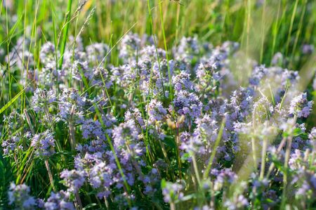 beautiful small flowers of thyme purple color close up