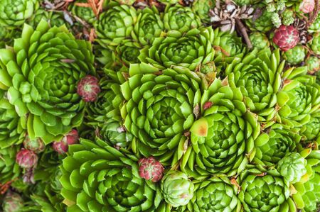 background of young green and small purple succulent plants. Sempervivum beetle known as Stone Rose.