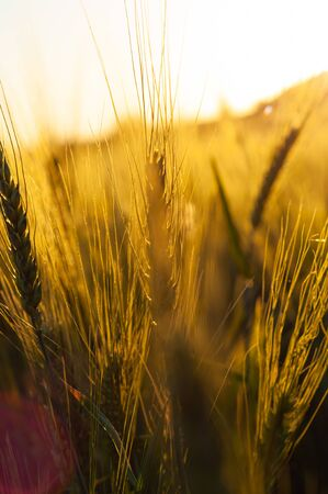 Large ripening spikelets in foreground in field. Closeup. Green spikelets in golden rays of sunlight. Nature summer blurred background. Beautiful farmland and pasture in country. Vertical photo.