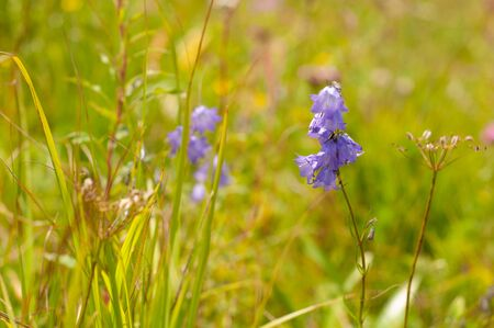 Violet flowers peach-leaved bellflower in meadow. Campanula persicifolia lives in predominantly bright forest zones, in ravines and in bushes. This species was one of most common wildflowers... Stock Photo