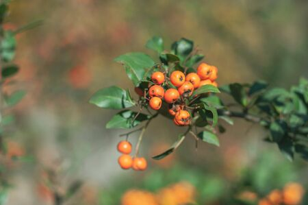 Fast-growing evergreen dense bush of Pyracantha.