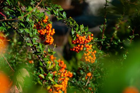 Branches of pyracantha bush with bright berries. Stock Photo