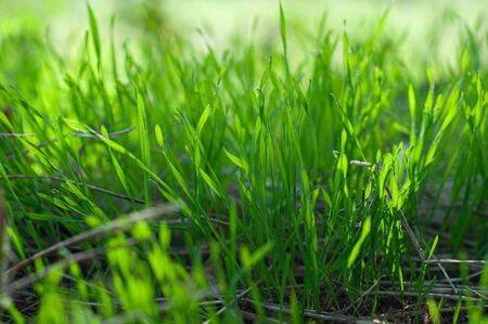 Green, juicy grass on a field close-up, nature of a spring meadow, bright seasonal outdoor lawn, lush, soil cover. Sunlight and soft shadow on high herb, top view. Stock Photo