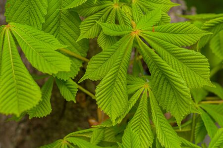 Young green leaves horse chestnut tree Close-up. Beautiful elements nature in spring. Landscaping o parks and city streets. Broad-leaved trees with big new leaves. Horizontal photo.