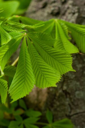Beautiful leaves chestnut in spring season. Close-up. Contrast green leaves and brown trunk texture. It is used for landscaping and gardening. Botanic wall texture. Vertical photo. Outdoors. Stock Photo