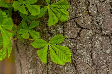 Bright green leaves chestnut as background. Close-up. Contrast green leaves and brown trunk texture. Beautiful elements of nature in spring. Botanic wall texture. Horizontal photo. Outdoors. Stock Photo