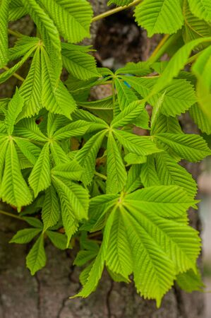 Image young fresh horse chestnut leaves. Close-up. In spring garden. Chestnut tree background. Background for spring screensavers on phone. Botanic wall texture. Vertical foto. Outdoors.