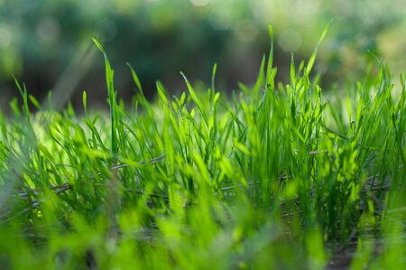 Green, juicy grass on field close-up on blurred background, nature spring meadow, bright seasonal outdoor lawn, lush, soil cover. Sunlight and soft shadow on high herb, top view. Stock Photo