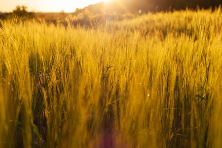 Ripening green ears wheat in field. Close-up. Golden light illuminates tall stalks cereals on farm. Peaceful rural landscape. Beautiful farmland and pasture in country. Horizontal photo.