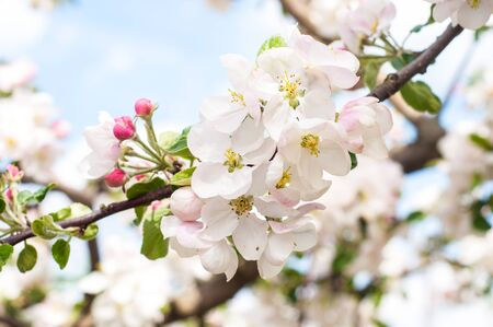 Large white flowers apple tree with beautiful yellow-green core on tree branch, delicate pink unblown buds. Colorful nature, outdoors, close up