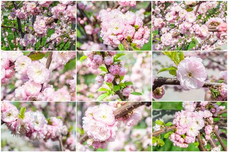 Collage close-up photos sakura flowers, pink buds with green petals. Flowering tree Japanese springtime flora. Natural environment outdoors.