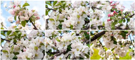 Collage photos large flowers apple trees, colorful buds with green petals, spring garden tree close-up. Natural environment outdoors. Stock Photo