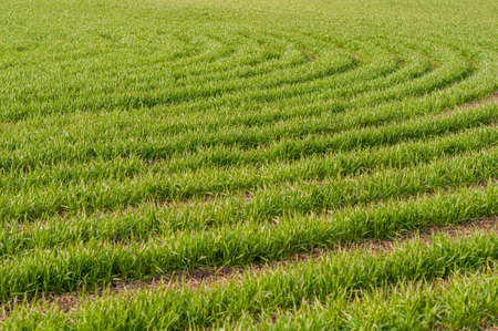 Bright background juicy, green wheat sown in field, cereal plants outdoors, agriculture, agronomy. Horizontal photo