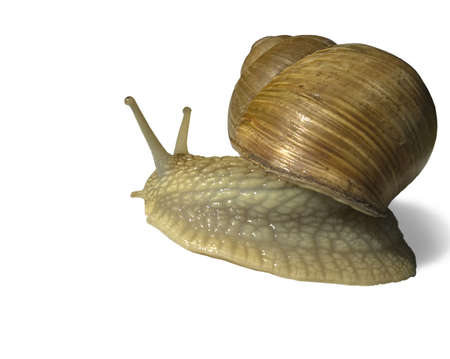 grape snail: this photo of the grape snail on white background
