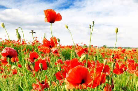 red poppies on green field Stock Photo - 4322634