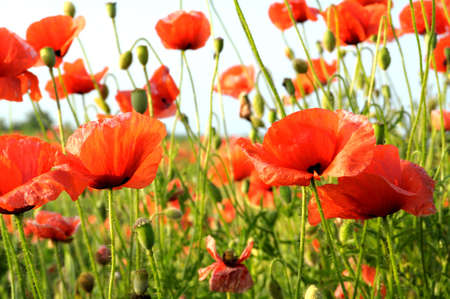 poppies on green field Imagens - 6749673