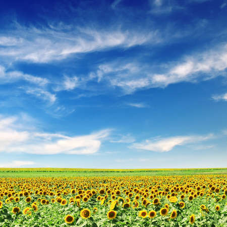 sunflower field and blue sky                                     photo