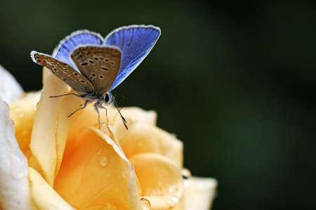 niebieski Motyl na żółty kwiat