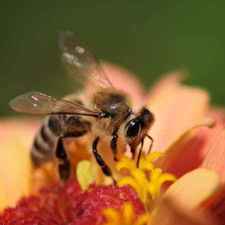 abeille recueille le nectar des fleurs