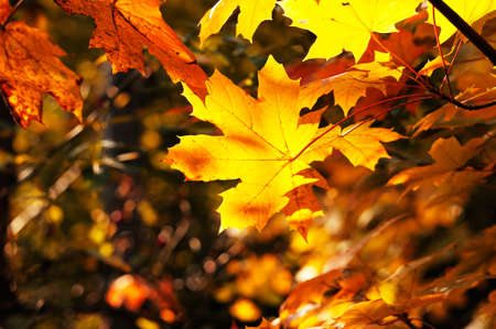 colorful maple trees: maple leaves