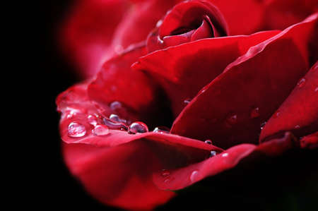 mojada: lluvia caída sobre Rosa Roja  Foto de archivo