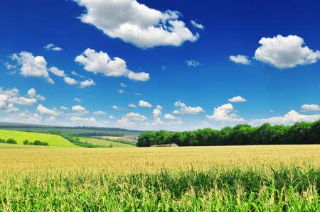 planta de maiz: campo de ma�z  Foto de archivo