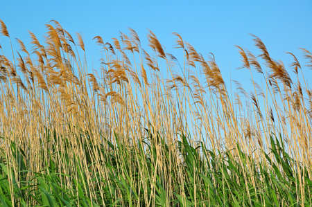 bulrush on background sky                                     Stock Photo - 7949013