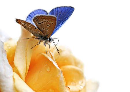 Vlinder aan bloem geïsoleerd op witte achtergrond  Stockfoto