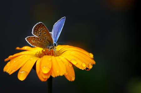 Mariposa azul en flor amarilla                                     Foto de archivo