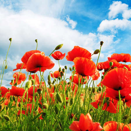 poppy flower: poppies on green field