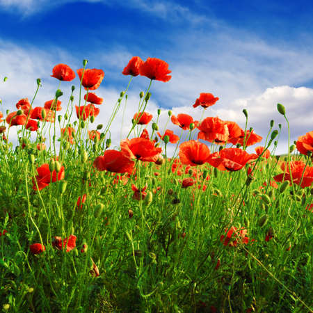 cloudiness: poppies on green field