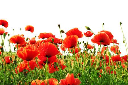 poppy field: klaproos geïsoleerd op een witte achtergrond                                     Stockfoto