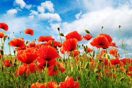 poppies on green field Stock Photo - 9107096