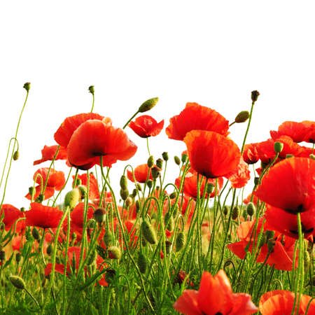 poppies: red poppy isolated on a white background