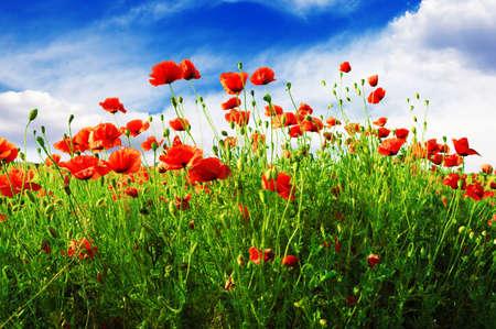 绿色田野上的罂粟花