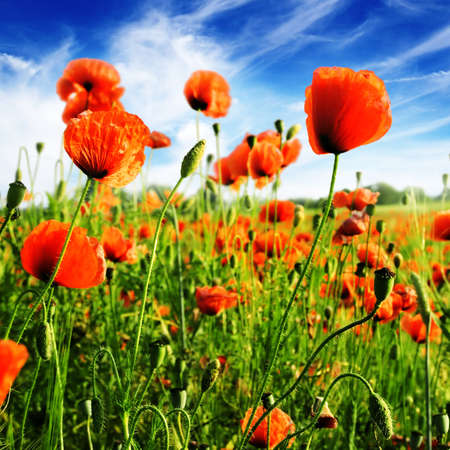 poppy leaf: poppies on green field                                   Stock Photo