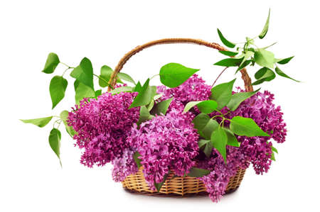 Lilacs in a basket isolated on a white background.                                     photo