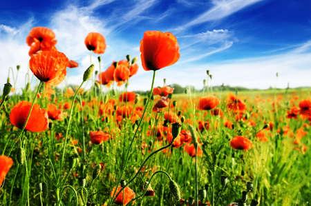 campo de flores: amapola en campo verde                                     Foto de archivo