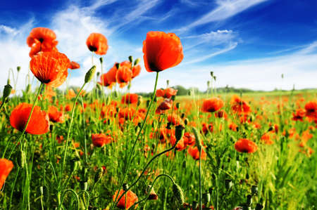 flowers field: poppy on green field