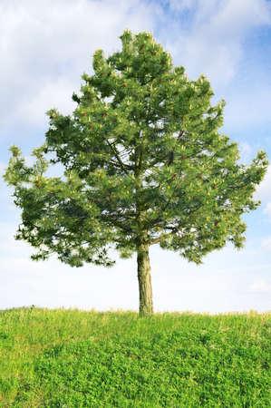 Scotch pine (Pinus sylvestris) against the sky                                    photo