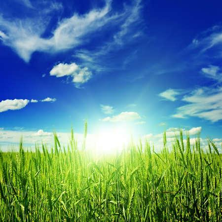 wheat field: sunrise on a spring wheat field
