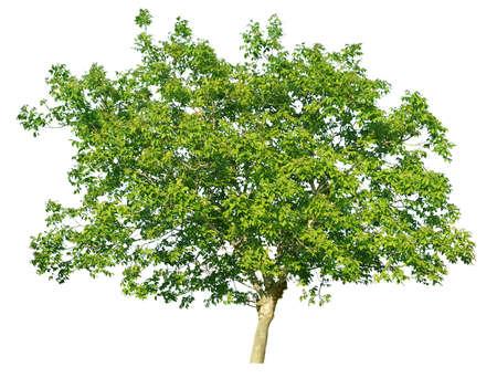 leafy trees: Europeo nogal (Juglans regia) aislado en un fondo blanco                                   Foto de archivo