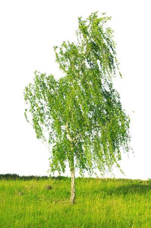 european white birch: white birch isolated on a white background                                     Stock Photo