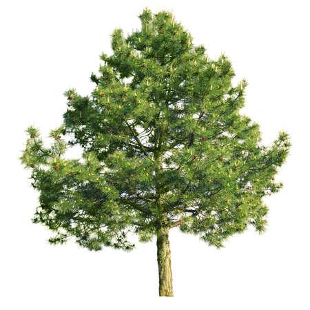 scotch: Scotch pine (Pinus sylvestris) geïsoleerd op een witte achtergrond