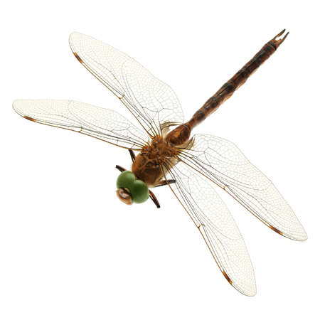 dragonfly isolated on a white background                                     photo