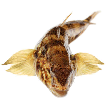 bullhead isolated on a white background                                     photo
