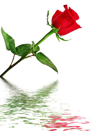 red roses: Rosa roja reflejada en el agua aislado en un fondo blanco.