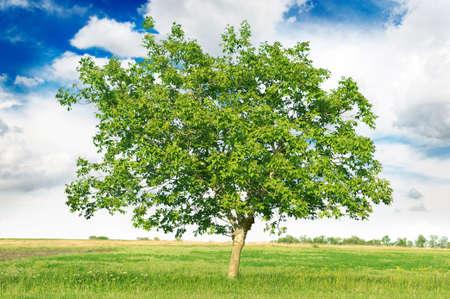 tall tree: European walnut (Juglans regia)