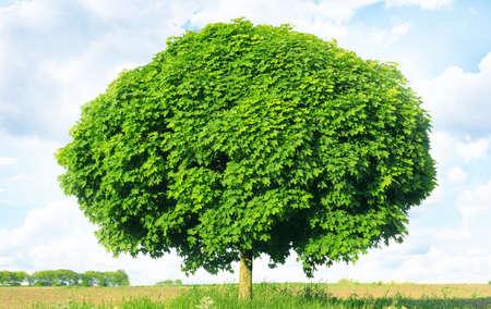norway maple: Norway maple(Acer platanoides)  Stock Photo
