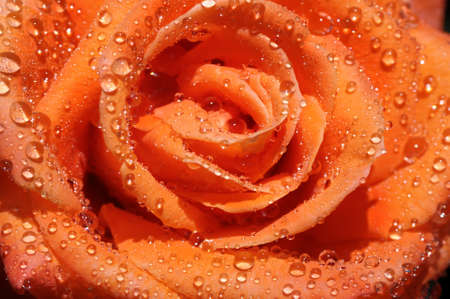 rain drop on rose                                     photo